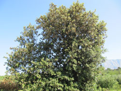 Holly oak (Quercus ilex)