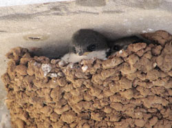 Young swallows (Hirundo rustica) in a nest on the facade of the house