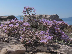 Limonium cancellatum, a highly endangered and protected endemic species