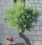 Salt cedar tree (Tamarix)